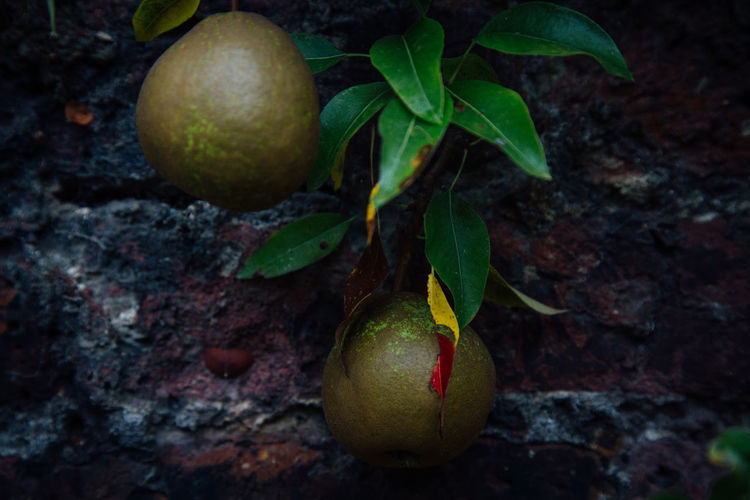 Pear grows in front of a brick wall at Fenton House, London Citrus Fruit Close-up Food Fruit Garden Garden Photography Healthy Eating Leaf Nature No People Outdoors Pear