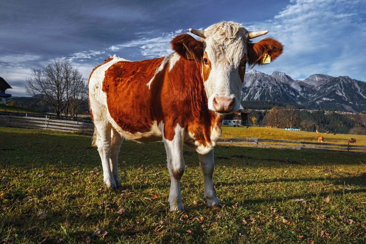 Friendly cow Mammal Animal Livestock Animal Themes Domestic Animals Land Sky Field Landscape Cow Environment Mountain Nature Outdoors Cloud - Sky Grass No People One Animal Dachstein Schladming Alps Alpen Animalphotography