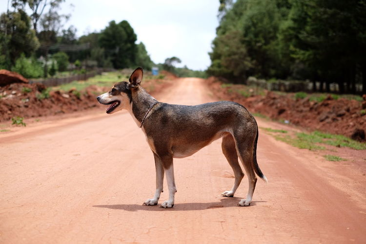 Met this beautiful dog on the road. He followed me for a while before slipping into the woods. Africa Animal Themes Day Dog Domestic Animals Nature No People One Animal Outdoors Pet Road Rural Standing Sunshine Zimbabwe