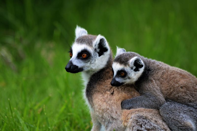 Lemurs on grass