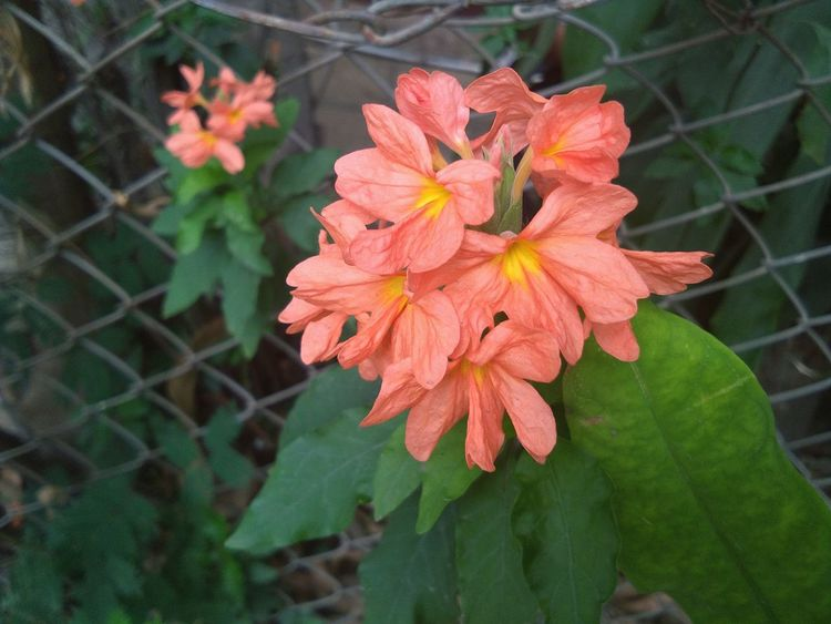 Orange Flower on tree Flower Growth Flower Head Nature Beauty In Nature Close-up Freshness No People Eyemphotography Nature PhonePhotography Nature Beautifulinnature Naturalbeauty Photography Landscape Eye Em Nature Lover Power In Nature Day Afternoon Orange Flowers Leaves🌿