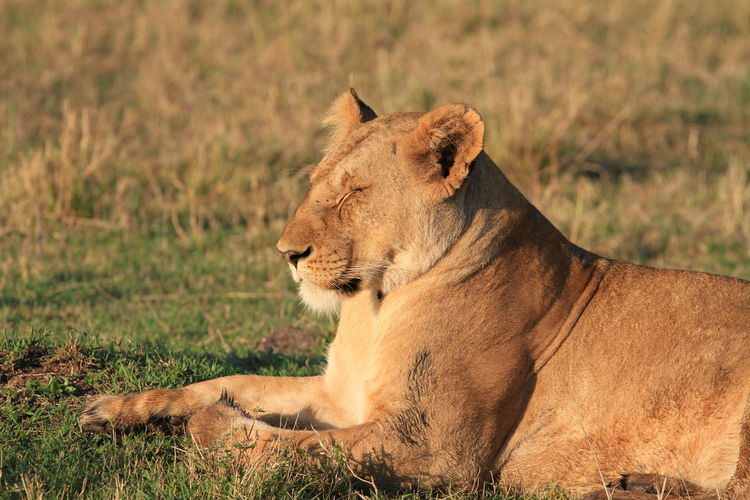 Close-up of lioness sleeping while sitting on field
