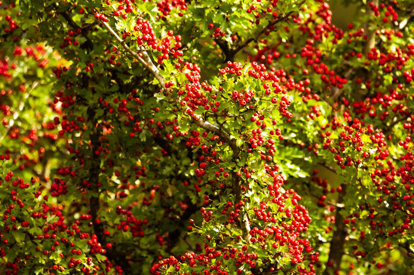 Beauty In Nature Berry Fruit Day Flower Flowering Plant Food Food And Drink Freshness Fruit Growth Healthy Eating Leaf Nature No People Outdoors Plant Plant Part Red Ripe Rowanberry Selective Focus Tree
