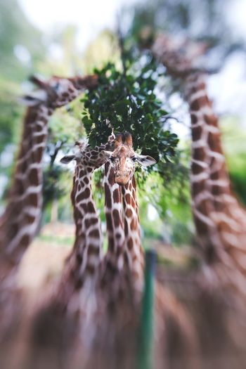 Traveling Travel Travelling Travel Photography DmitryBarykin Safari Israel Safari Park Giraffe Animals