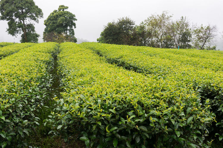 field rows of fresh tea plants in a cloudy misty weather chiang rai thailand Tea Agriculture Beauty In Nature Day Field Freshness Green Color Growth Highlands Hill Landscape Landscapes Nature No People Outdoors Plant Plantation Rural Scene Scenics Sky Tea Leaves Tea Plant Tranquil Scene Tranquility Tree