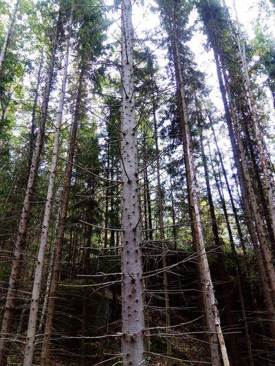 Gloppe Tree