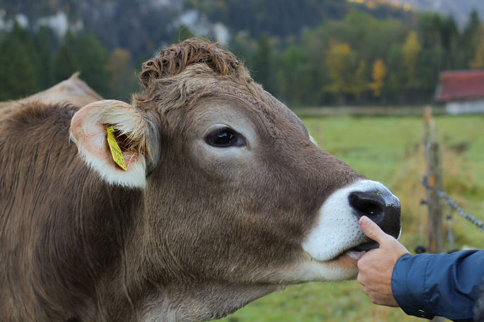 Close-up Conection Cow Day Domestic Animals Friendship Mammal One Animal One Person Outdoors Sweet