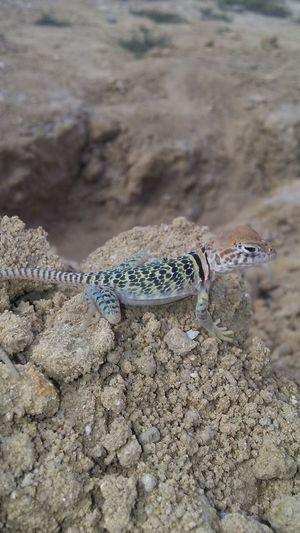One Animal Animal Wildlife Reptile Animals In The Wild Animal Sand Nature Day No People Close-up Beauty In Nature Collared Lizard