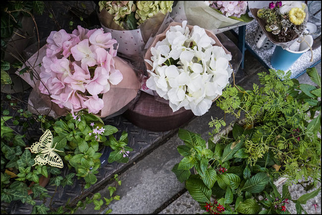 Flowers, beautiful colors, hydrangea