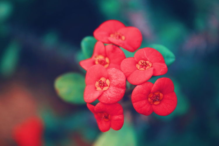 Botany Garden Fragility Red Red Color Day Selective Focus Outdoors Freshness Growth Inflorescence Vulnerability  Plant Beauty In Nature Nature Flower Red Flower Head Love Close-up Blooming Plant Life Petal Fragility In Bloom