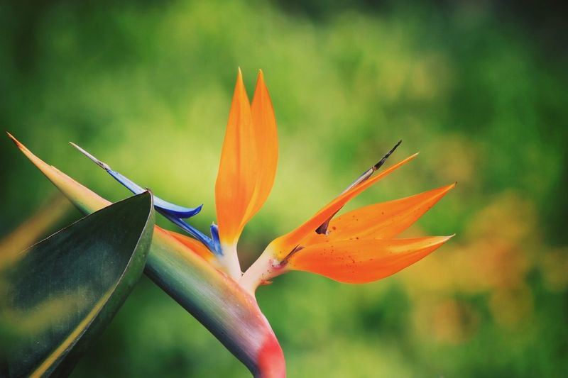 Close-up Bird Of Paradise - Plant Nature Outdoors First Eyeem Photo