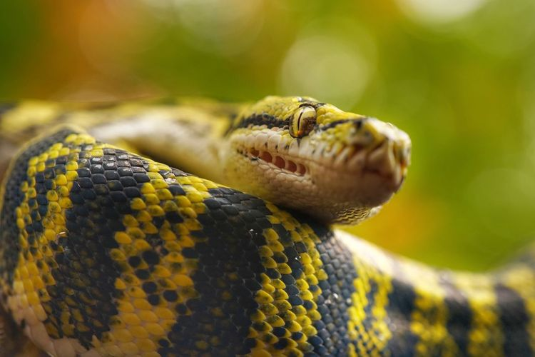 Snake Bokeh Colors Outdoors Carpet Phyton Dangerous Eyes Beauty In Nature Danger Pattern Snake Skin Animal Themes One Animal Reptile Animal Wildlife Animal Snake Animals In The Wild Close-up Vertebrate Animal Body Part No People Nature Animal Head  Animal Scale Yellow Macro