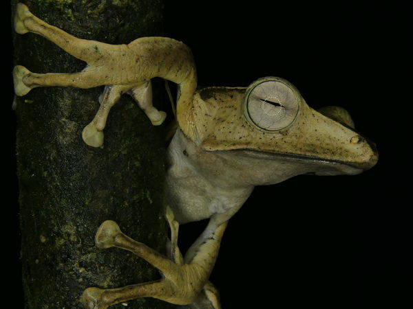 File-eared Tree Frog Frogs Amphibians Borneo Rainforest Frog Rainforest Wonder Of Frogs