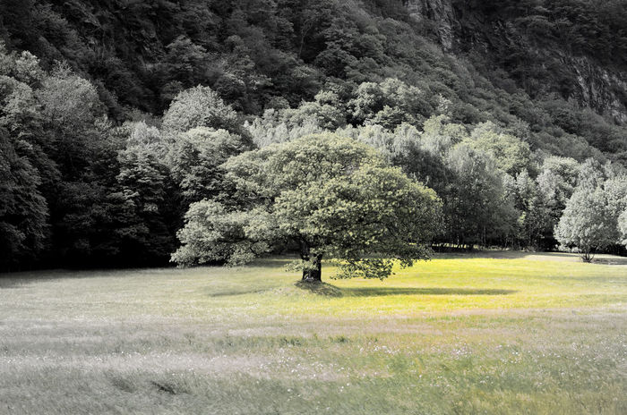 Tree on the Field Field Green Color Sunny Tree Beauty In Nature Day Grass Growth Landscape Nature Outdoors Scenics Selected Color Tranquility Tree