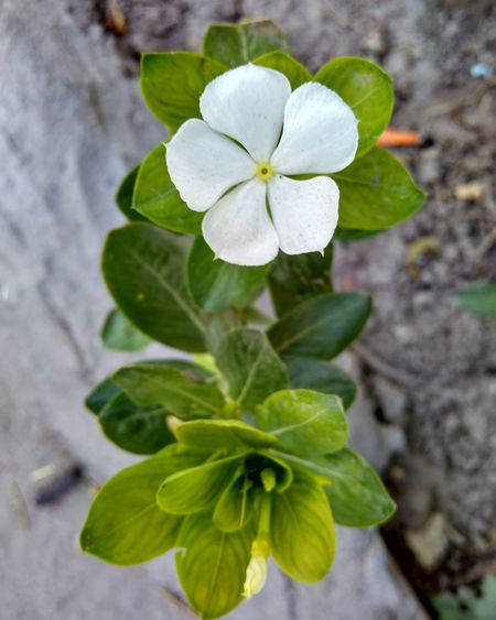 White periwinkle flower. White Flower White Flowers Flower Beauty In Nature Beautiful Beauty Nature Photography Nature EyeEm Garden Photography Gardening Periwinkle Flowers, Nature And Beauty Flower Photography Gauravsphotography