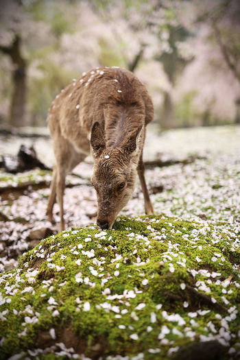 Animal Animal Themes Day Deer Deer Moments Deer Park Deersighting Domestic Animals Focus On Foreground Full Length Japan Japanese  Japanese Culture Mammal Messy No People One Animal Outdoors Sika Deer Sikadeer Standing Travel Travel Photography Zoology