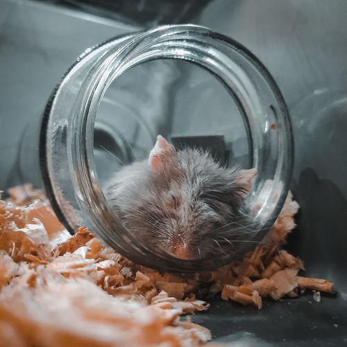 Sleepy hamster in glass jar