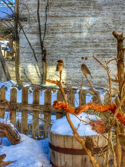 Winter Play Picket Fence Rustic Barrel Birds Birds At Pla Branch Close-up Country Life Day Nature No People Outdoors Snow Winter Shades Of Winter