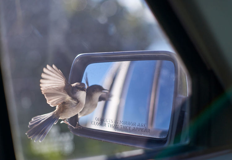 A small brown bird attacking it's reflection in a car side-mirror, mistaking it for another bird.