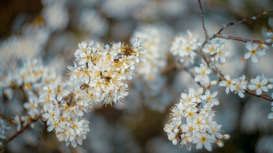 Blackthorn Plant Flower Flowering Plant Beauty In Nature Growth Fragility Vulnerability  Freshness Close-up Tree Nature Branch No People Blossom Day Focus On Foreground Springtime White Color Outdoors Botany