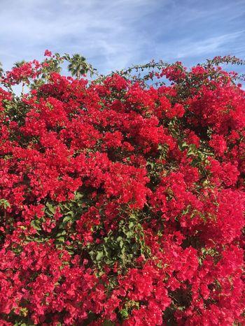 Bougainvillea Pink Bougainvillea Blossom Flora Petal Plant Sky No People