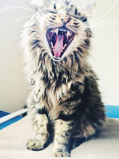Metro Goldwyn Mayer present katalina the cat 🐈 Animal Animal Themes Mammal One Animal Feline Pets Cat Domestic Cat Whisker Yawning Facial Expression Domestic Animals