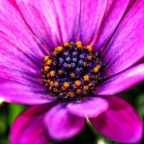 Dimorphoteca ..macropics!Nature Lovenatural Naturelover Naturepics Color Flowerstagram Flower Purple Blu Yellow Homeflowers Perfection Details Macroshot Macropics Reflex Canon550D