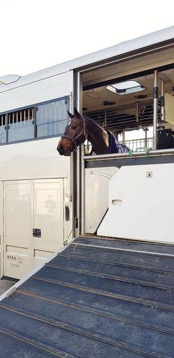 driving miss daisy Horsetruck Wanderlust Headshot Vehicle Horse Transportation Horse Life On Tour Competition