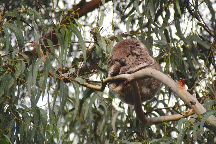 Low Angle View Of Koala Sleeping On Branch