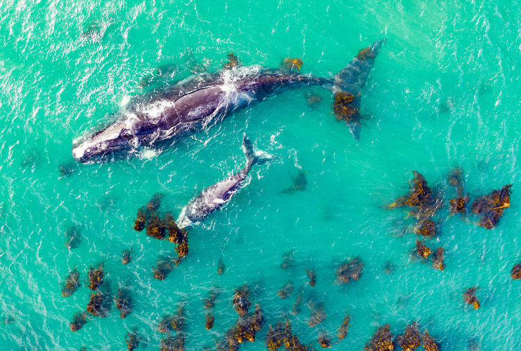 High angle view of whales swimming in sea