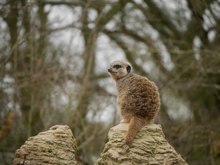Africa Animals Beauty In Nature Day Gaze Luton Meerkat Nature Nature Outdoors Selective Focus Whipsnade Zoo Wildlife