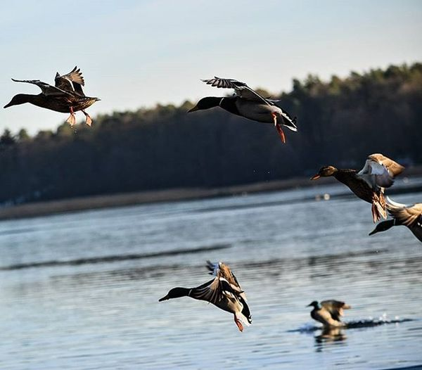 Flying Ducks Fliegen , Ente , Eis , Ice , See , Lake , Water , Drops , Tropfen , Winter