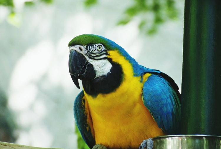 Animal Wildlife Bird Animals In The Wild Animal Themes One Animal Parrot Gold And Blue Macaw Nature Beak Close-up Tropical Bird Macaw Yellow Beauty In Nature Outdoors Perching Day No People Parrot Mountain Bird In Cage Adapted To The City Close Up Birdcage Nature USAtrip