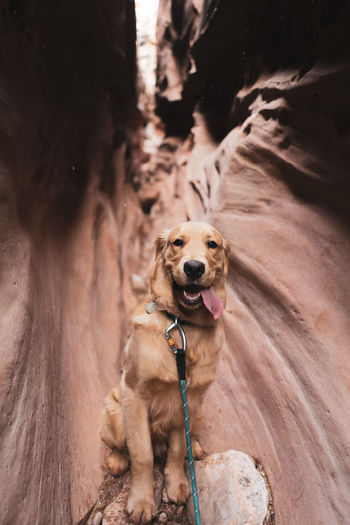Golden Retriever One Animal Canine Dog Animal Themes Pets Domestic Animals Mammal Animal Domestic Vertebrate Rock Rock - Object Collar Pet Collar No People Solid Portrait Day Brown Nature Outdoors Small Mouth Open Animal Head  Purebred Dog Nature Leash