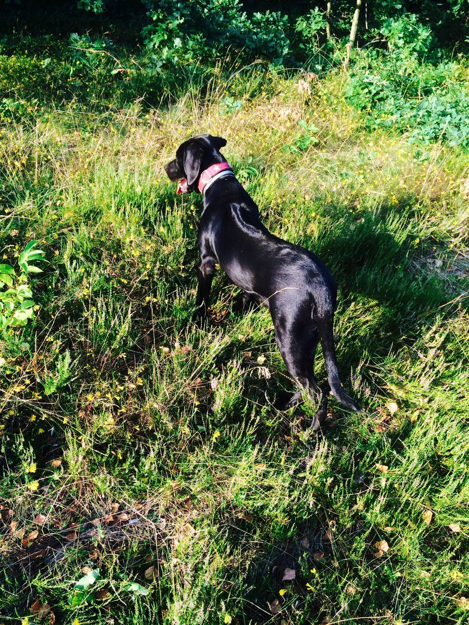 dog, pets, animal themes, domestic animals, one animal, mammal, grass, plant, black color, outdoors, black labrador, growth, nature, no people, day, full length
