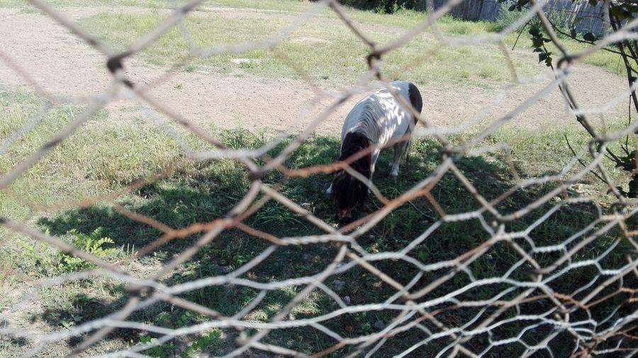 Ponei Pascand Cute Poney Poney Grazing Poney Poney Eating Pônei Poney Eating Grass Plants Chainlink Fence Hazelnut Leaves Hazelnut Branches