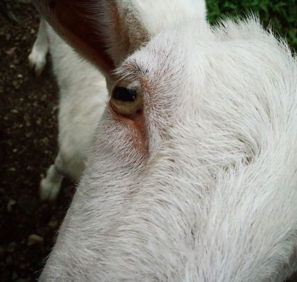 One Animal Domestic Animals Close-up Portrait Animal Head  No People Nature Outdoors White Goat ヤギ