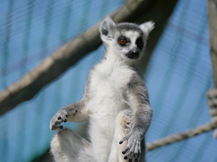 Low angle view of lemur sitting at zoo