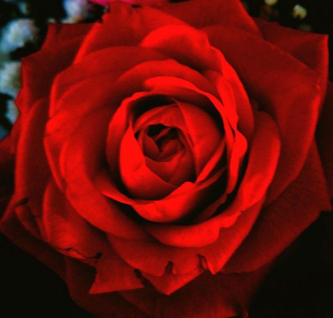 Fragility Flower Petal Flower Head Freshness Rose - Flower Red Beauty In Nature Close-up Nature Single Flower Softness Rosé Springtime Vibrant Color Single Rose In Bloom Blossom Growth Botany