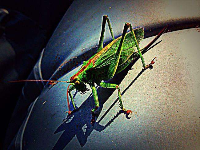 Green Little Locust Beautiful