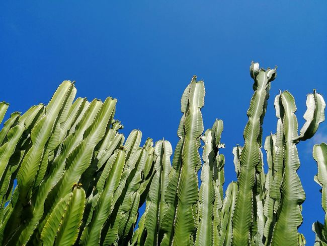 Euphoria Cactus and blue sky Cefalu  Sicily Euphoria Euphorbia Euphorbia Euphorbiaceae Blue Sky Background