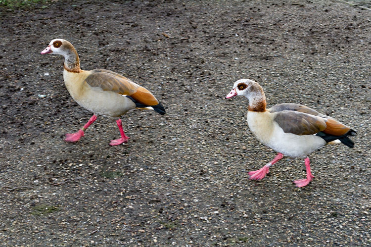 Egyptian Geese at Whitlingham Country Park, Norwich. Related to the shelduck, this pale brown and grey goose has distinctive dark brown eye-patches and contrasting white wing patches in flight. It was introduced as an ornamental wildfowl species and has escaped into the wild, now successfully breeding in a feral state. Read more at https://www.rspb.org.uk/birds-and-wildlife/bird-and-wildlife-guides/bird-a-z/e/egyptiangoose/#Zp3Uw26rp1ceEuqD.99 Alopochen Aegyptiacus Norwich Whitlingham Country Park Animal Themes Animals In The Wild Bird Day Domestic Animals Egyptian Goose Goose Nature No People Outdoors Togetherness Two Animals