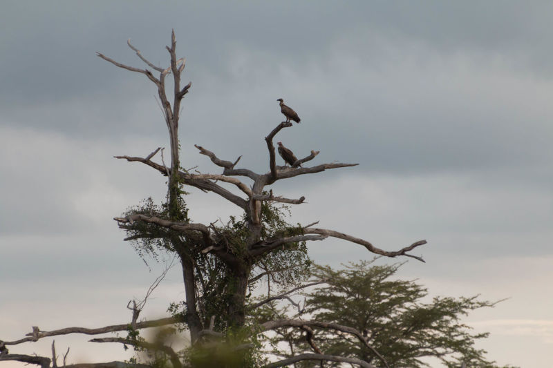 Vultures in a tree in Saadani National Park Animal Wildlife Birds Branch Day Living Organism Nature No People Outdoors Sky Social Issues Sunset Tree Tree Area Tree Trunk Vultures Vultures In A Tree Vultures Observing