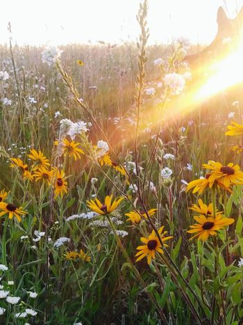 Nature Growth Plant Beauty In Nature Flower Field No People Freshness Grass Summer Outdoors Sunbeam Sunrise Black-eyed Susans Daisies