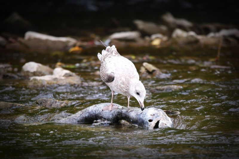 Bird eating fish in water