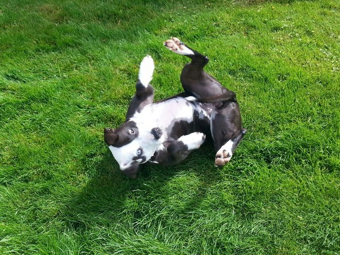 Pets Corner Spoon The Dog Grass Rolling Playing Staffy Pitbull Summer Dogs