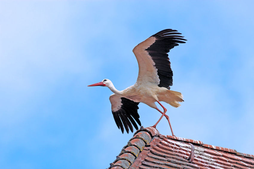 Stork ready to fly Animal Wildlife Bird Animals In The Wild Stork Take Off Roof Ridge Crest Sky outdoors Day Blue Clear Day Wings Spread Wings Spread Clay Tiles Red Blackandwhite Wader copy space Negative Space Neg Space