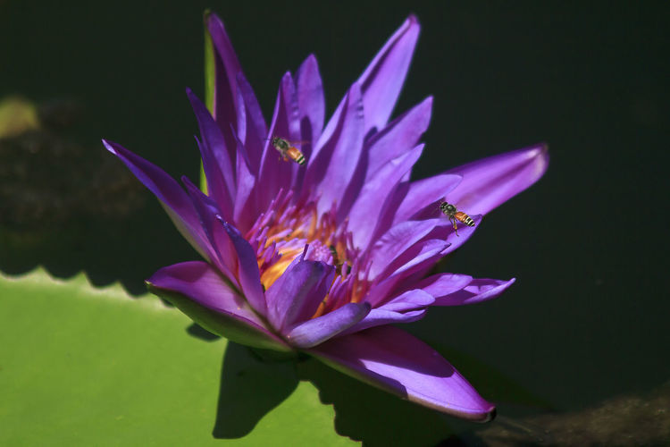 The bee is on the purple lotus bloom. Lotus Water Lily No People Iris Crocus Water Nature Pollen Water Lily Inflorescence Close-up Growth Flower Head Beauty In Nature Plant Freshness Purple Vulnerability  Petal Flower Flowering Plant Fragility