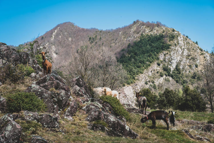 Cows grazing on landscape against mountain range