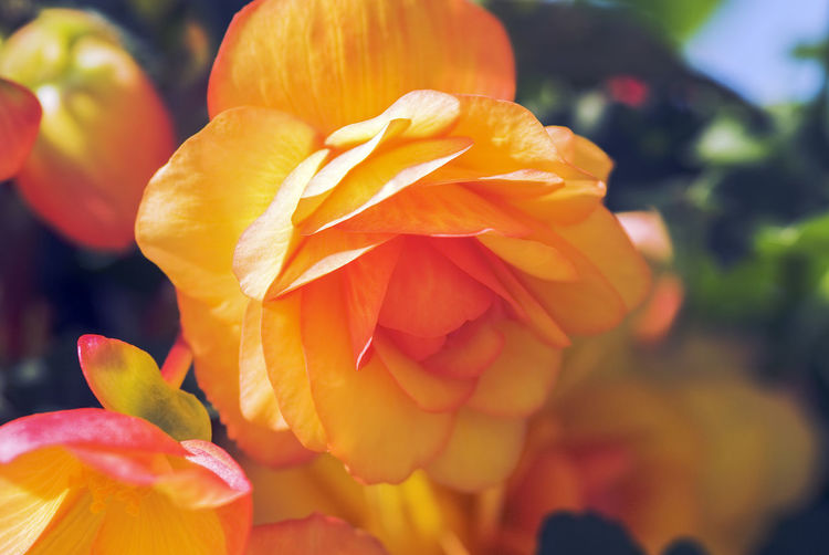Begonia Flower Garden Flowers Gardening Pattern, Texture, Shape And Form Patterns In Nature Beauty In Nature Begonia Blooming Close-up Day Flower Flower Head Flowerbed Focus On Foreground Fragility Freshness Growth Nature No People Orange Color Outdoors Pattern Patterns & Textures Petal Plant